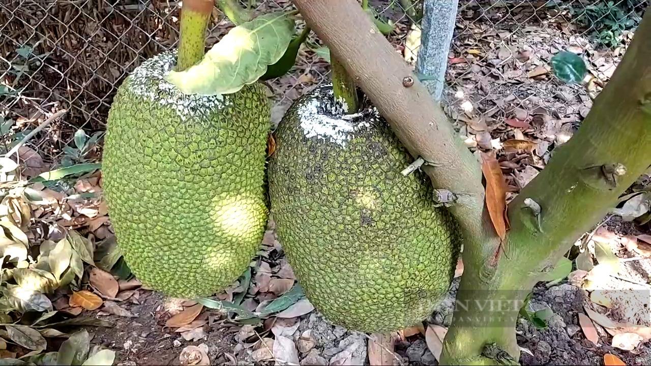 Tiền Giang: Trồng mít Thái, nhờ bí quyết cho trái to đẹp, một ông nông dân lời nửa tỷ/năm