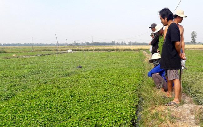 Xã trồng rau muống lớn nhất tỉnh Hưng Yên