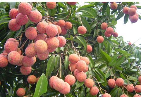 Lychee of Bac Giang exports to new markets