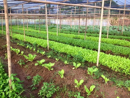 Hung Yen: Enhancing the quality of safe vegetables