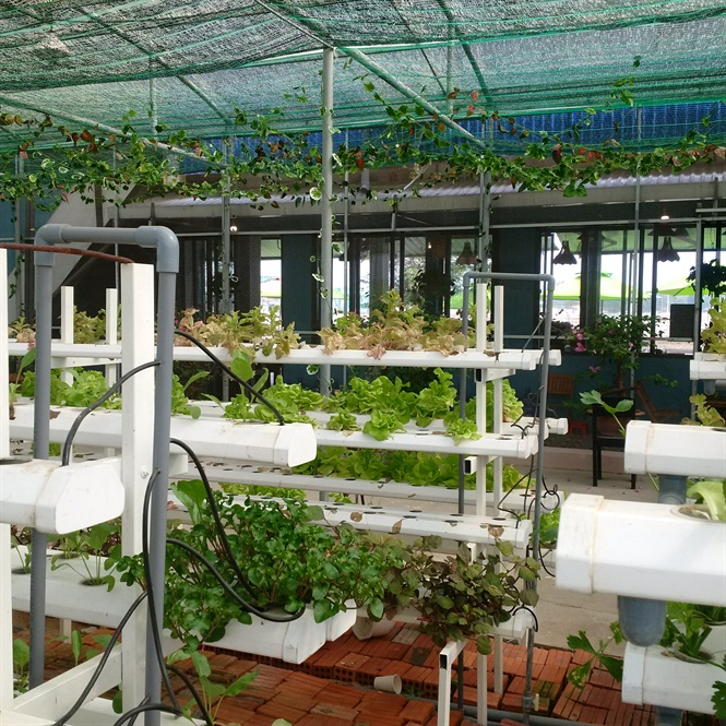 A unique model combining hydroponic vegetable farming with a café in Quang Nam