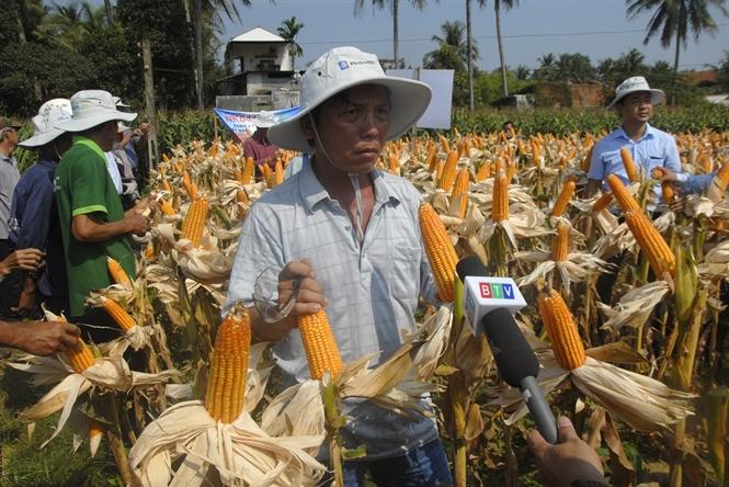 Ngô lai NK6410 trên đất lúa