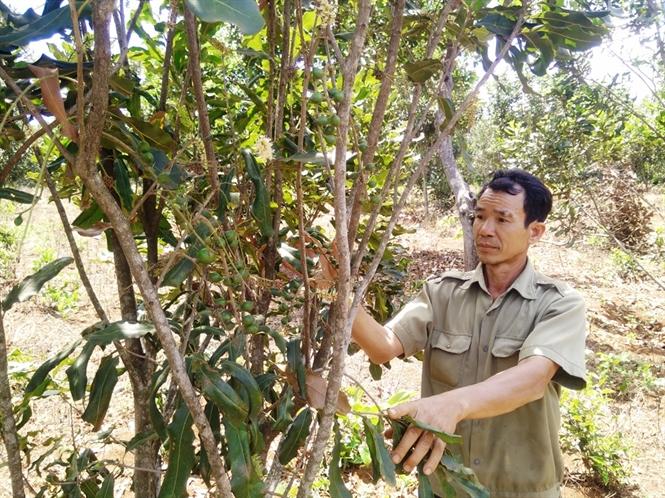 Đắk Nông: Mắc ca trồng khảo nghiệm cho kết quả tốt