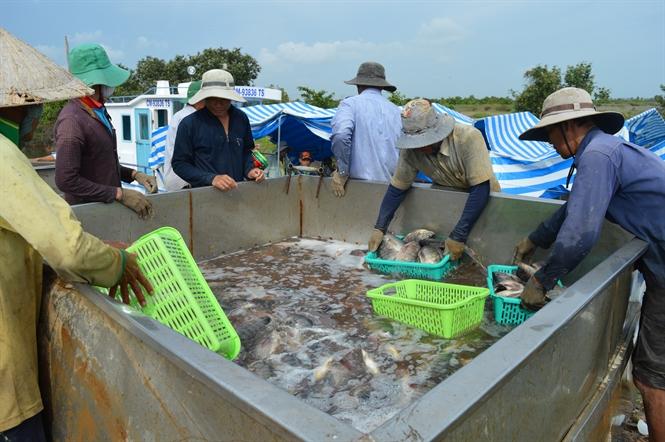 Thu hoạch cá rô phi nuôi trong ao tôm tại vùng nuôi của Cty TNHH Thủy hải sản Minh Phú - Kiên Giang