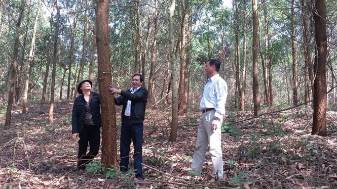 Chuyển hóa rừng trồng gỗ nhỏ sang gỗ lớn tại Bắc Giang