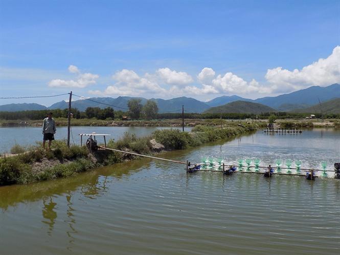 Vụ tôm 2017, người nuôi ở Khánh Hòa có lãi