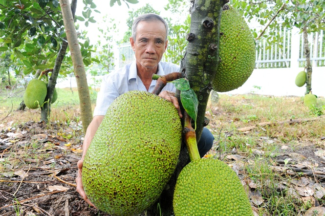 Giá mít Thái tăng hơn 20.000 đồng/kg so với đầu năm