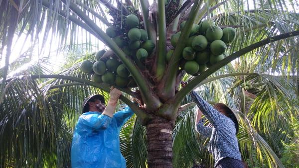 Bình Định: Thu nhập khá từ dừa xiêm