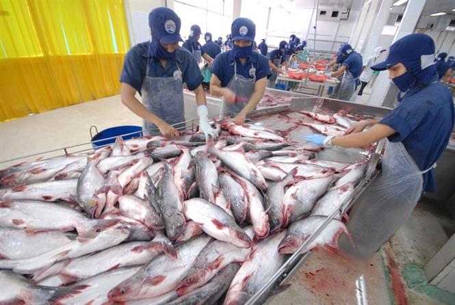Giá cá tra cao chót vót ngay đầu năm