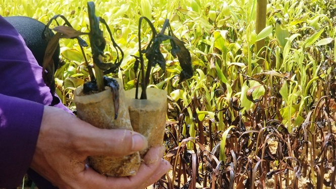 Cây giống héo úa, trễ vụ trồng rừng