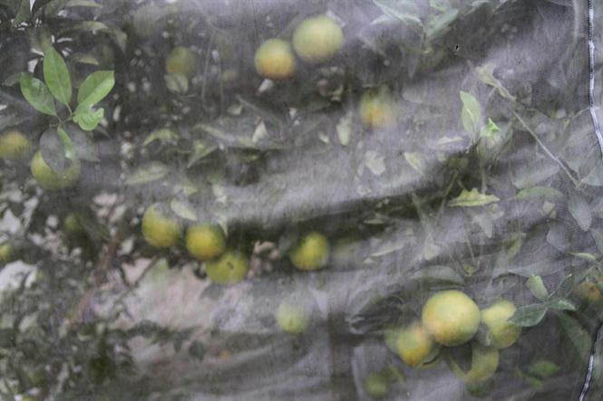 Vùng cam ngon Phủ Quỳ nguy cơ tàn lụi: Bài 2 Hình thành những vùng cam mới