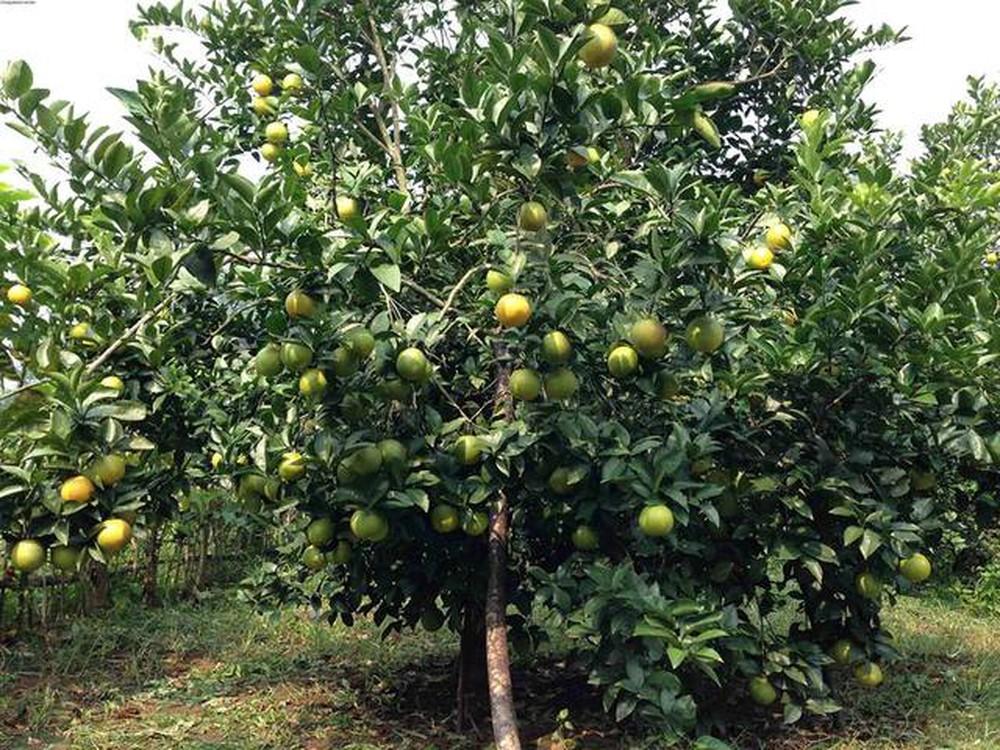 Diện tích trồng cam trên đất ruộng phát triển mạnh