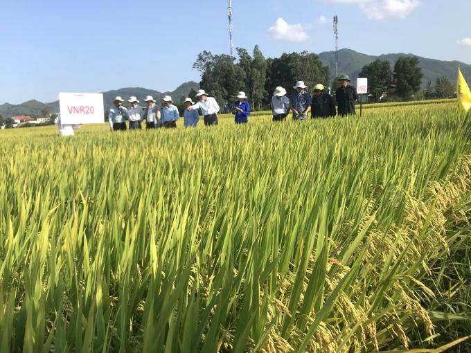 Những giống lúa năng suất khủng vững chân trên đất Bình Định