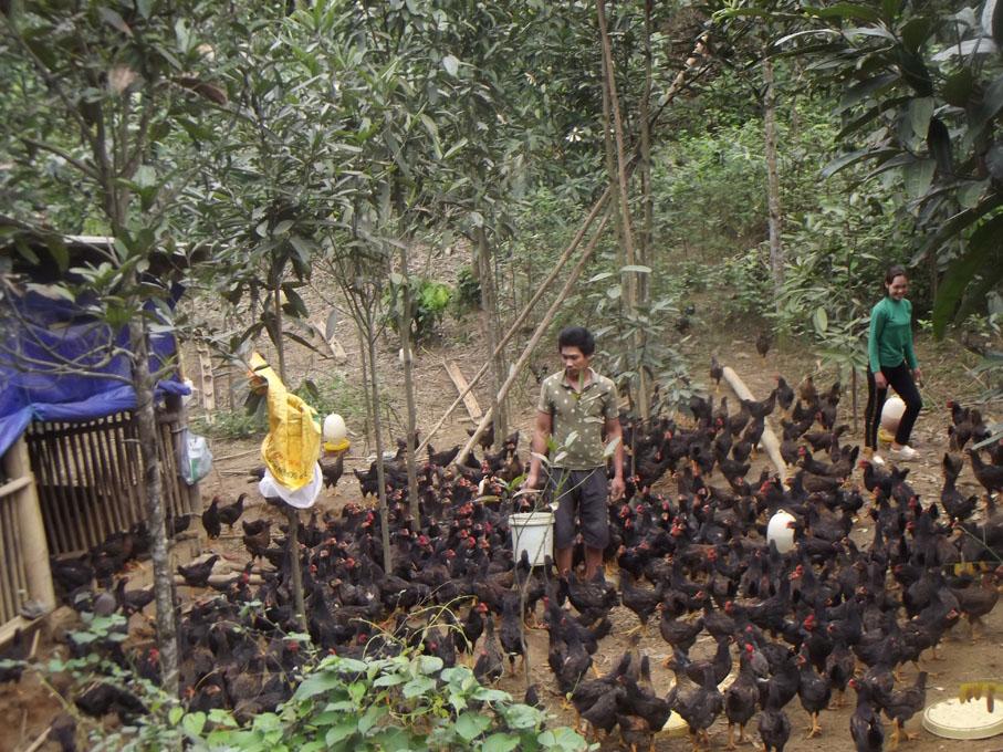 Mô hình nuôi gà đồi sinh học của gia đình anh Sơn đã và đang đem lại hiệu quả kinh tế cao, mở ra hướng mới cho nông dân vùng cao