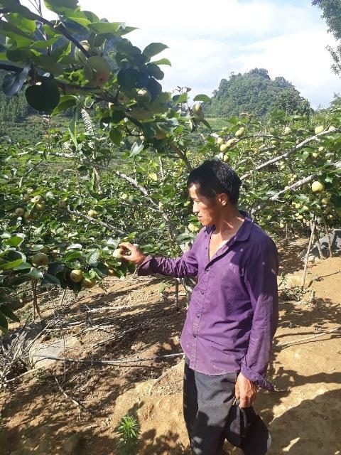 Lào Cai: Thu nhập 200 triệu đồng/năm từ cây mận