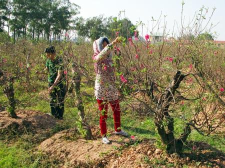 NTM Hưng Yên: Người trồng đào hứa hẹn bung nở đúng dịp Tết