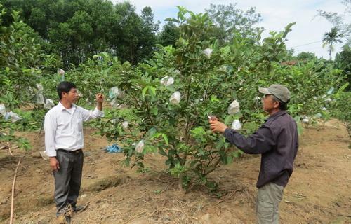 Huyện Triệu Phong (Quảng Trị): Hiệu quả từ mô hình trồng ổi xá lị Đồng Nai