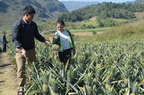 Điện Biên: Chuyển đổi cây trồng giúp nông dân thoát nghèo