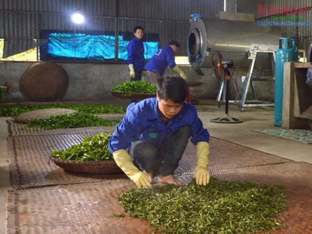 Tuyên Quang: Liên kết sản xuất và chế biến chè Shan tuyết
