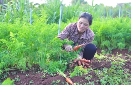 Người Churu làm rau hữu cơ