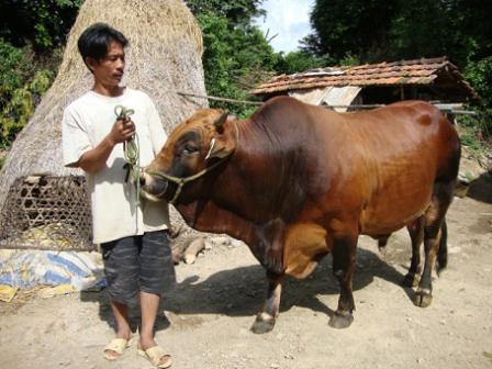 Dân ở đây dễ kiếm tiền nhờ nuôi vỗ béo những con bò to bự