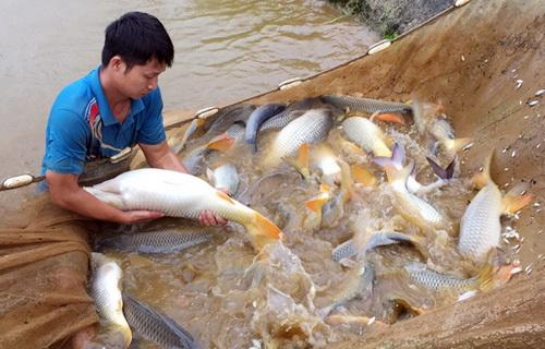 Xem những người đàn ông vạm vỡ hành nghề đỡ đẻ cho đàn cá chép to bự ở Lào Cai