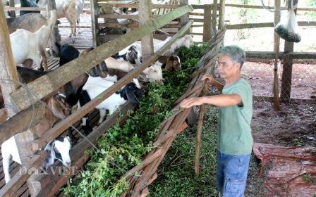 Hồ tiêu hết thời, thả dê trong vườn cho ăn lá nọc, cỏ dại, thịt thơm bán giá cao 130.000 đồng/kg