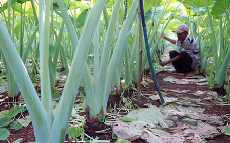 Quảng Bình: Nông dân trồng rau sạch trong vườn mẫu đẹp như phim, lạ nhất là cách đuổi sâu rất tài