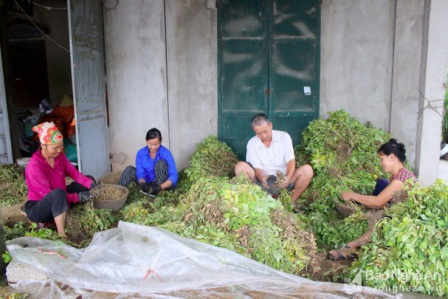 Tây Ninh: Thứ cây nhổ gốc lên bao nhiêu là củ, dân bán được giá hời, nhà nào trồng nhà đó có lời