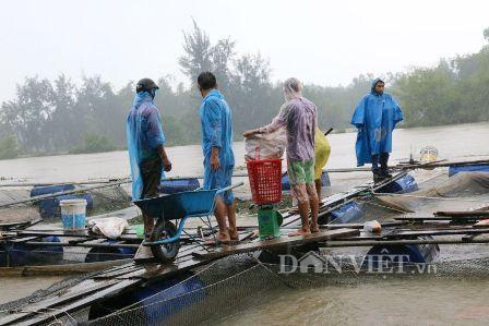 Quảng Nam: Dân nuôi cá lồng bè lao đao vì hồ Phú Ninh xả lũ