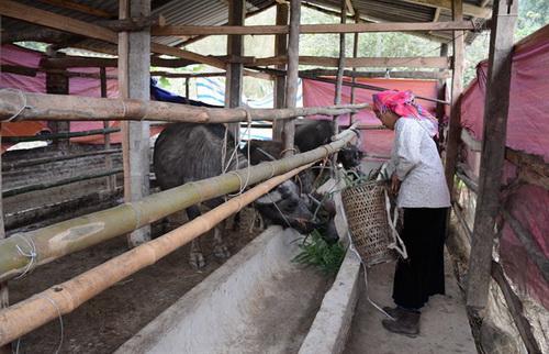 Yên Bái: 94 con trâu bò bị chết rét