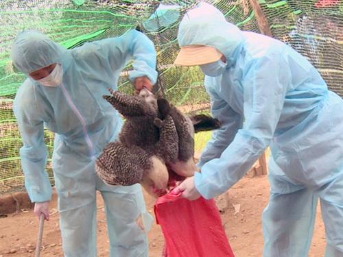 Phú Yên căng mình khống chế ổ virus cúm động lực mạnh H5N6