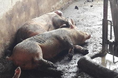 Tuyên Quang: 70 con lợn chết vì bệnh lở mồm long móng