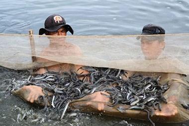 Tăng năng suất cá kèo bằng phương pháp nuôi trên ruộng muối