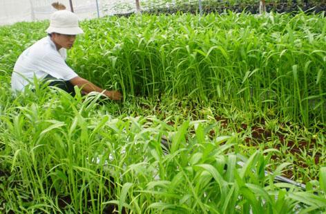 Cách trồng rau muống vừa sạch vừa non mơn mởn