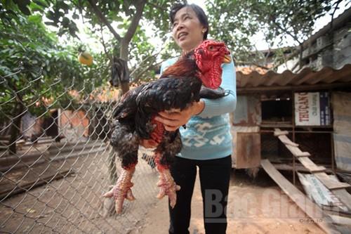 Lục Nam hỗ trợ 90 triệu đồng cho các hộ nuôi gà Đông Tảo