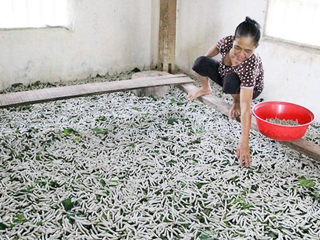 Nông Dân Trị Trấn Đạ Tẻh, Huyện Đạ Tẻh (Lâm Đồng) Phấn Khởi Khi Nghề Trồng  Dâu Nuôi Tằm Cho Thu Nhập Khá. Ảnh: N.T.M