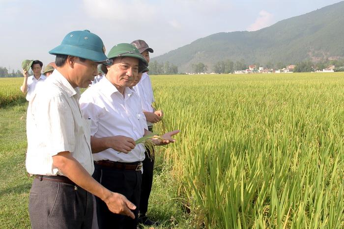Nghi Lộc (Nghệ An): Giống lúa VTNA6 cho hiệu quả cao trên cánh đồng mẫu lớn