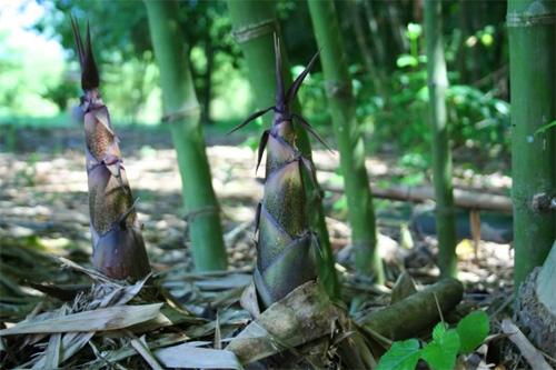 Trồng cây tiền tỷ: Cây leo đồi đẻ trăm triệu mỗi năm