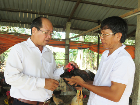 Rủng rỉnh tiền tiêu nhờ nuôi gà nòi lai Nam bộ