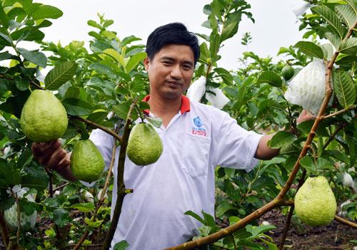 Trồng cây gì để làm giàu: Chăm vườn ổi lê khiến ai cũng mê