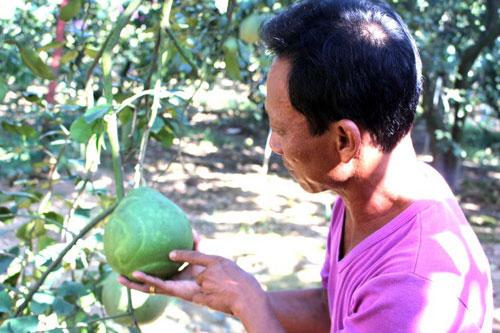 Bỏ mía, cải tạo đất ngập úng, trồng bưởi VietGAP, lãi hơn nửa tỷ/năm
