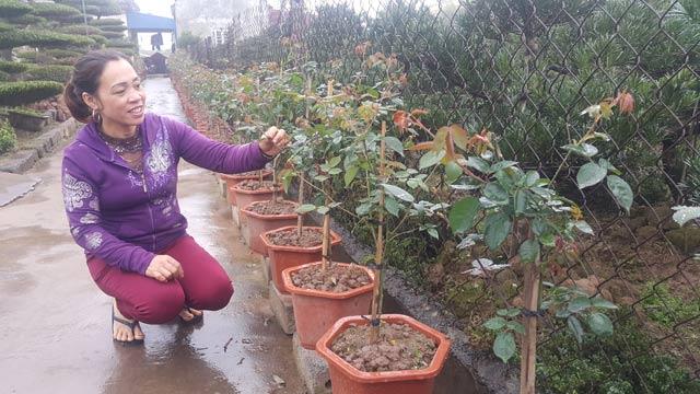 Chăm hoa bán Tết: Đảm đang chăm vườn hoa hồng kiếm Tết