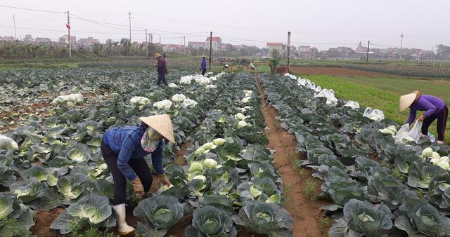 Nhập 3.000 tấn rau Trung Quốc không ảnh hưởng... giá rau trong nước