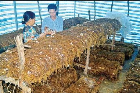 Quảng Trị: Triển vọng từ nghề trồng nấm rơm