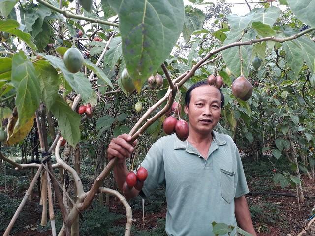 Tin lời đường mật, nông dân Lâm Đồng khốn khổ vì cây Magic S