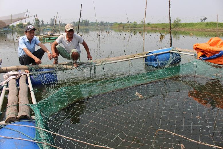Xã Triệu Phước (Quảng Trị): Nuôi cá chẽm lồng bè ít dịch bệnh, lợi nhuận cao