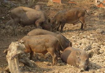 Heo rừng tại trang trại của kỹ sư Dinh được nuôi theo hướng an toàn sinh học