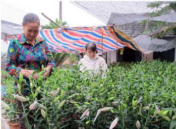 Ninh Bình: Nông dân trồng hoa ly Tết cho thu nhập trăm triệu/năm