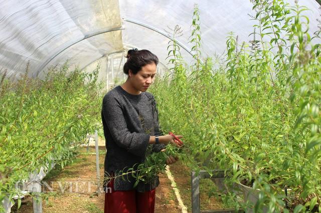 Hot girl Đà Lạt trồng cây lạ có bao nhiêu lái khuân sạch bấy nhiêu